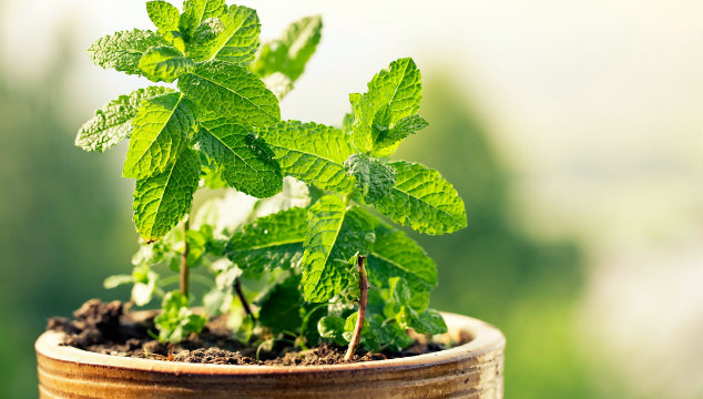 Herbs for Infertility