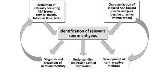 Helpfull brother Antibodies in sperm