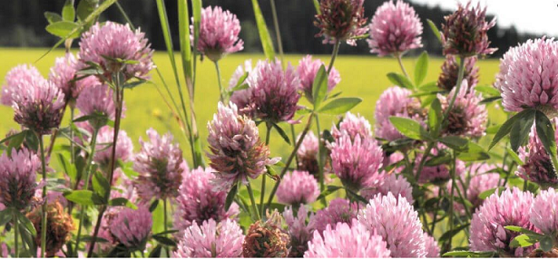 red clover for women trying to conceive