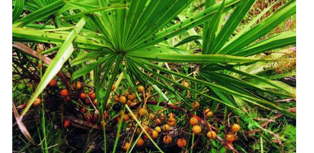 saw palmetto for male fertility